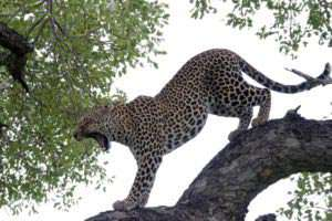 Area_Limpopo_Leopard_stretching