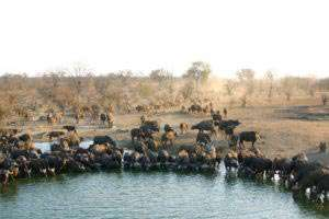 Area_Timbavati_Buff_stampede_drinking copy