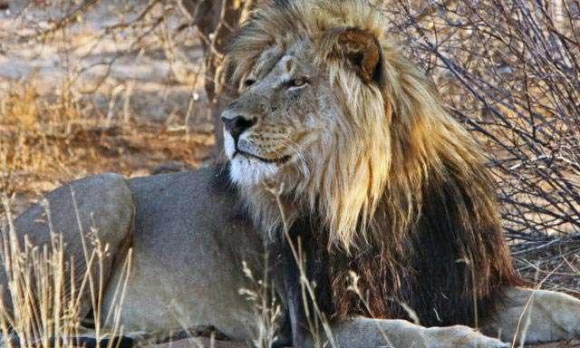 Kalahari_Lion