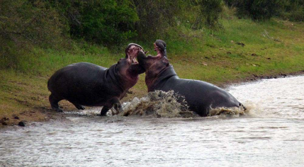 Area_Timbavati_Hippo_Fight copy
