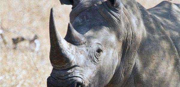 white rhino hunting in africa