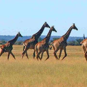 Safari Life Gallery28