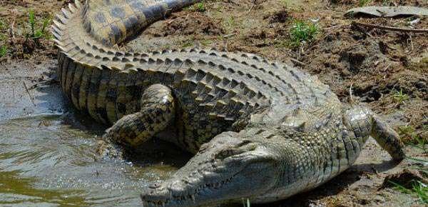 crocodile hunting in africa