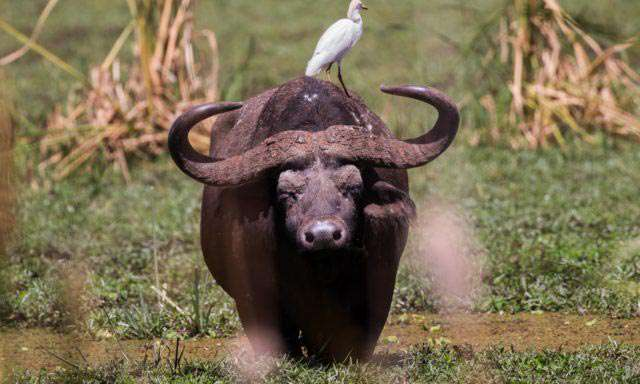 hunting buffalo in africa