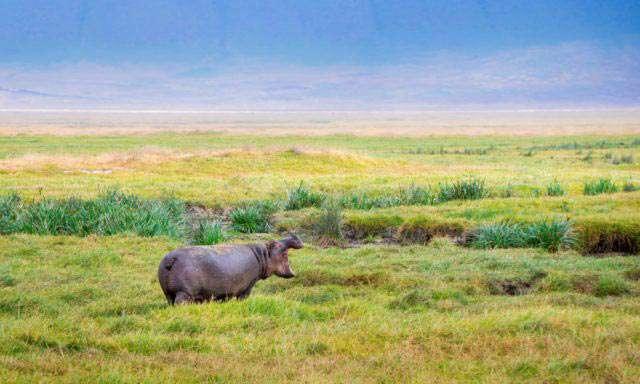 hunting hippos