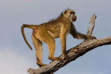 Chacma-baboon763657