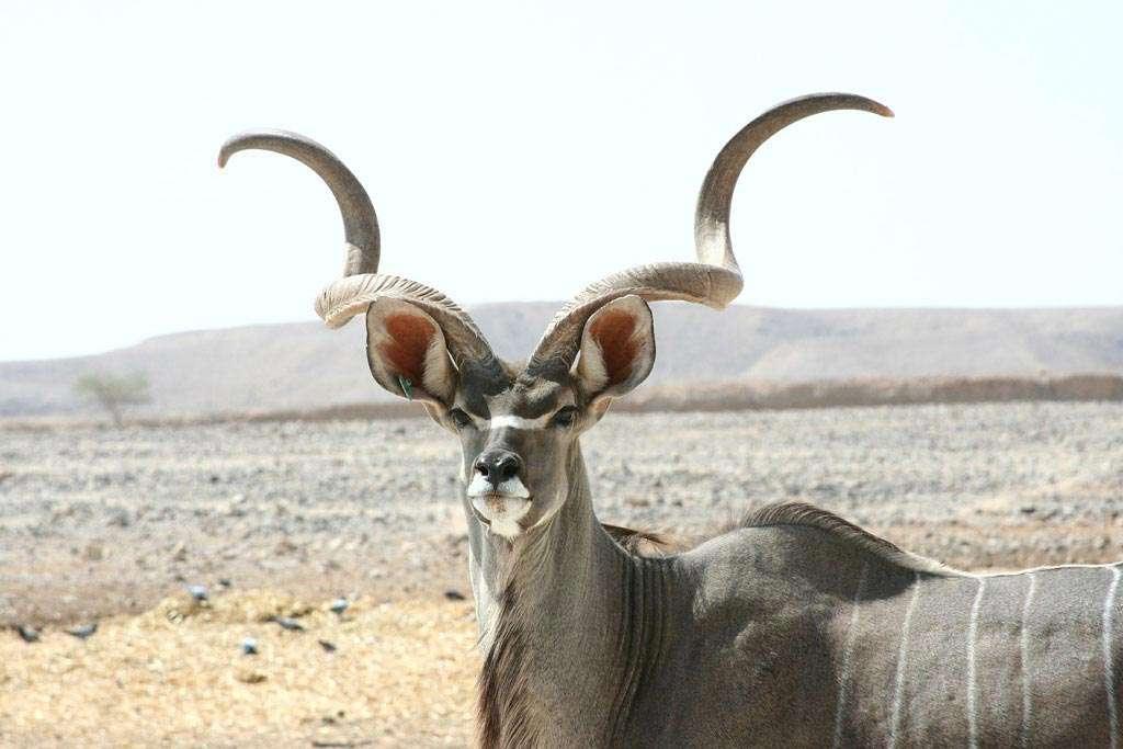 kudu antelope hunting in africa