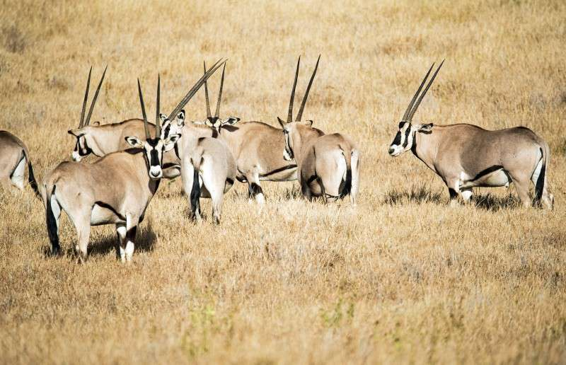hunting gemsbok in Africa